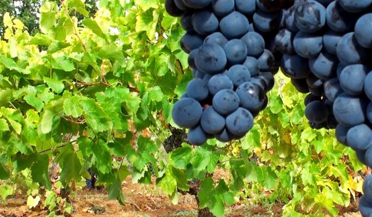 Incipiente renacimiento de la vitivinicultura en esta entidad