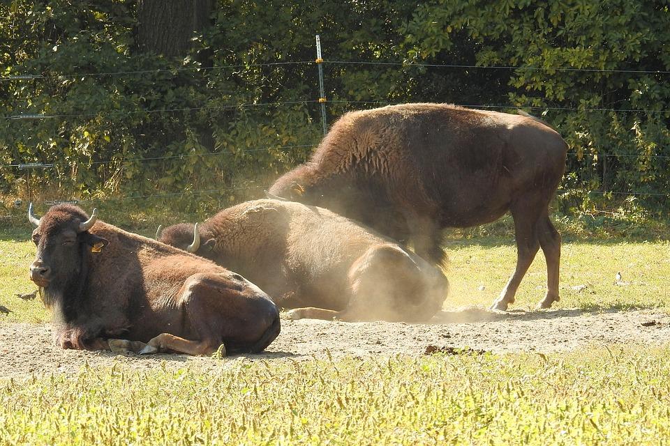 Detienen a traficantes de piel de bisonte en Aguascalientes
