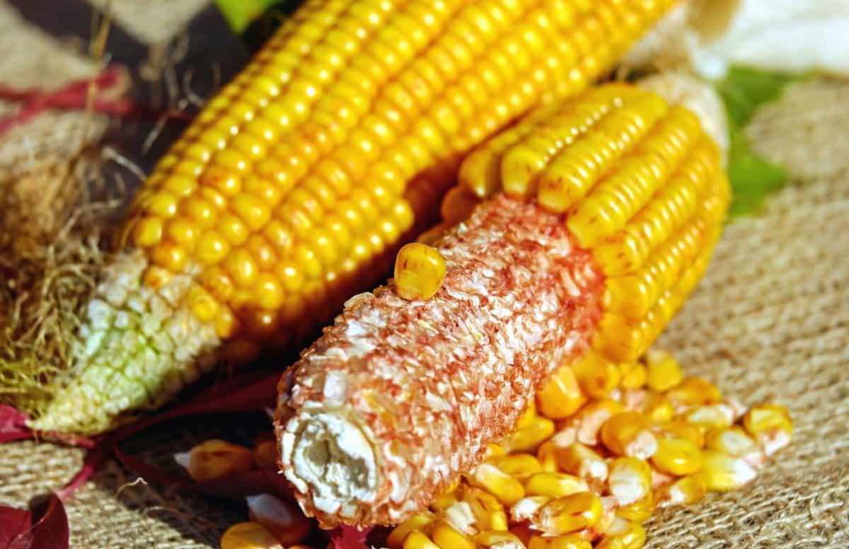 Gracias a las lluvias podría subir el precio del maíz y chile en Aguascalientes.
